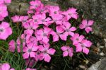 Dianthus_pavonius3_TOM_.jpg