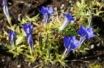 Gentiana_veitchiorum_TOM_0370.JPG