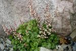 Heuchera_pulchella_TOM_6756.JPG