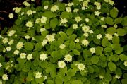 Anemonella_thalictroides_Betty_Blake_TOM_6020.JPG