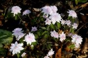 Anemonella thalictroides 'Cameo'