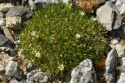 Arenaria baxoiensis