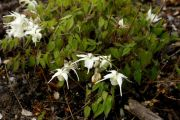 Epimedium_grandiflorum_Creeping_Yellow_TOM_8010.JPG
