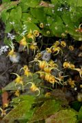 Epimedium_hybr_Amber_Queen_TOM.JPG