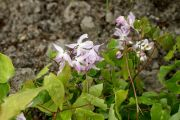 Epimedium_youngianum_Roseum_TOM_8363.JPG