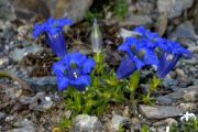 Gentiana_occidentalis_TOM_9081.JPG