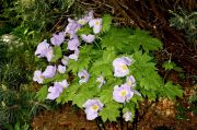 Glaucidium_palmatum_TOM_9482 .JPG