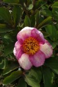 Paeonia 'Early Caucasion'