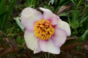 Paeonia 'Early Caucasian'