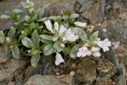 Penstemon debilis