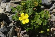 Potentilla dickinsii