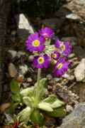Primula_scotica_TOM_7048.JPG